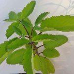 Lá cây sống đời giúp kháng viêm, kháng khuẩn, cầm máu