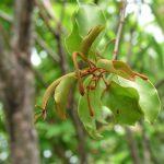 Phương thuốc đông y lợi khí huyết, giảm đau của cây tầm gửi mà ít ai biết
